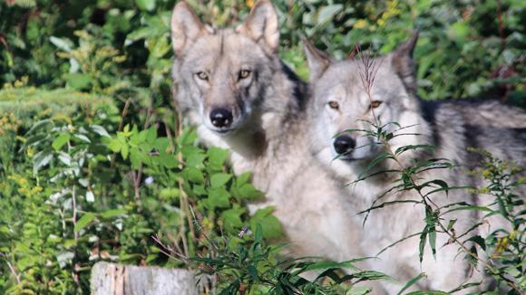 Nuit Avec Les Loups : nuit blanche avec les loups ~ Ideatenda.info Idées de Décoration